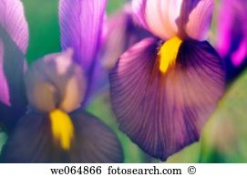 Dutch iris Stock Photo Images. 97 dutch iris royalty free images.