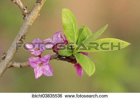 "Stock Images of ""Mezereon (Daphne mezereum), flowers and leaves."