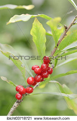 "Stock Photography of ""Daphne, Mezereon or Spurge Olive (Daphne."
