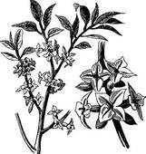 Clipart of Daphne or Daphne mezereum, vintage engraving k6392365.
