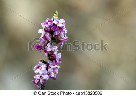 Stock Photography of Mezereon (Daphne mezereum) the toxic beauty.