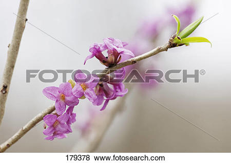 Pictures of February Daphne, Mezereon (Daphne mezereum), flowering.