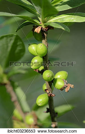"Stock Photo of ""Mezereon (Daphne mezereum), branch with fruit."