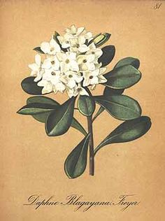 1936 Botany Print.
