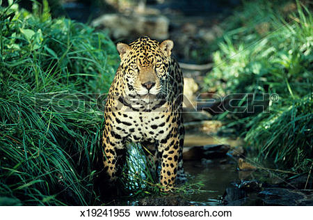 Stock Image of Jaguar in dappled rain forest stream x19241955.