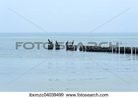 "Stock Photograph of ""Cormorants (Phalacrocorax carbo) on groynes."