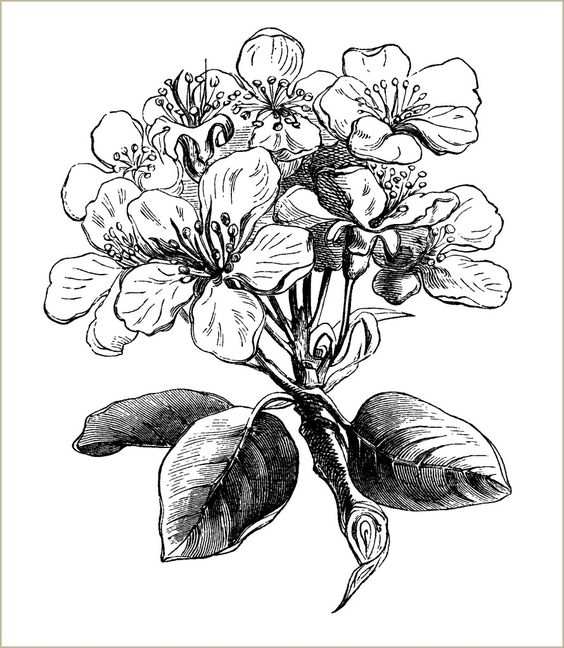 free vintage clip art pear blossom black and white engraving.