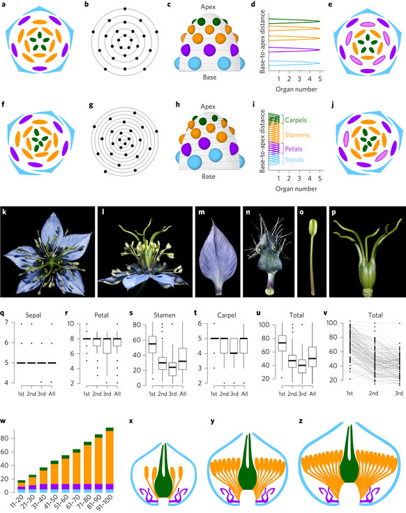 Flexibility in the structure of spiral flowers and its underlying.