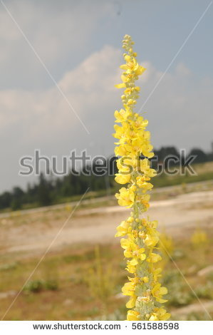 Yellow Verbascum Stock Photos, Royalty.