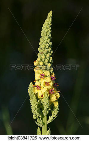 "Stock Images of ""Dark Mullein (Verbascum nigrum), North Rhine."