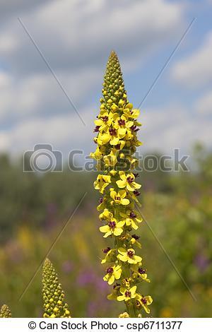Picture of dark mullein flowers.