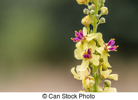 Picture of Black mullein or Dark mullein inflorescence.