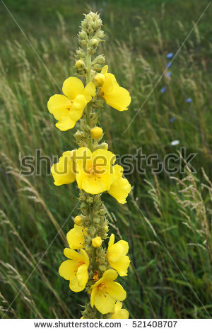Mullein Stock Photos, Royalty.