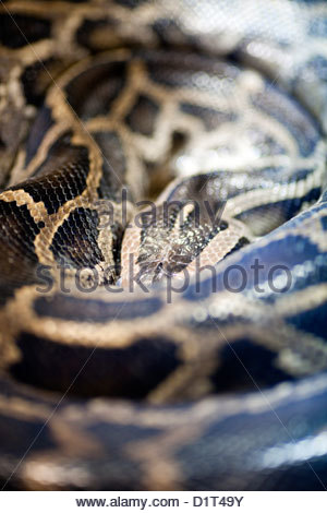 Rock Python Stock Photos & Rock Python Stock Images.