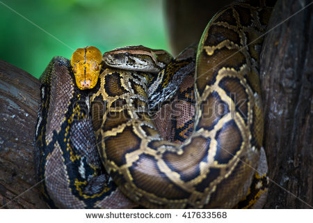 Python Molurus Bivittatus Stock Photos, Royalty.