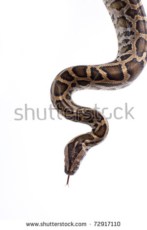 Burmese Pythons Stock Photos, Royalty.