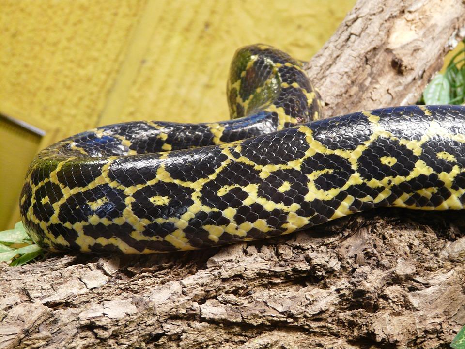 Free photo: Dark Tigerpython, Snake.