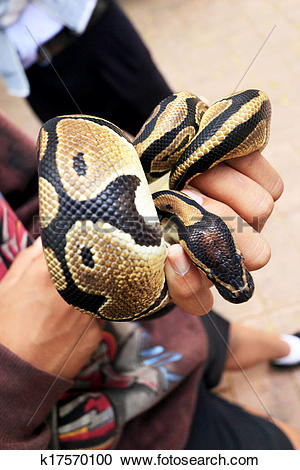 Stock Photography of tiger python.