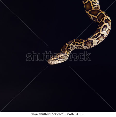Albino Python Stock Photos, Royalty.