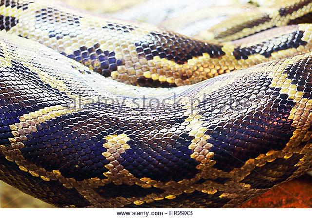 Python Molurus Bivittatus Stock Photos & Python Molurus Bivittatus.