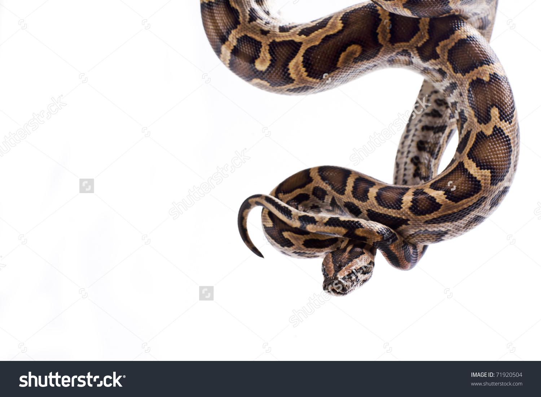 Close Tiger Python Python Molurus Burmese Stock Photo 71920504.