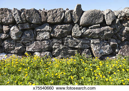 Stock Photography of Buttercups and granite dry stone wall on.