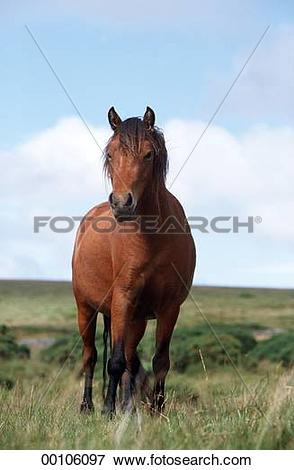 Picture of Dartmoor, Dartmoor Ponies, Dartmoor Pony, Juniors.