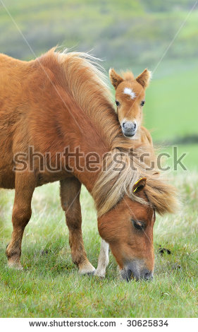 Dartmoor Pony Stock Photos, Royalty.