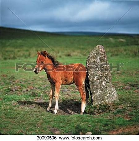 Stock Images of Dartmoor, Dartmoor Ponies, Dartmoor Pony, Juniors.