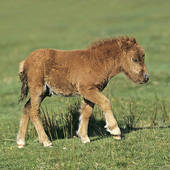 Stock Photography of Dartmoor Pony horse and foal on meadow 160550.