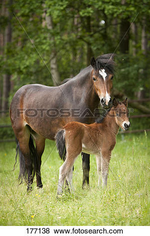 Pictures of Dartmoor Pony. Mare and foal standing on a pasture.