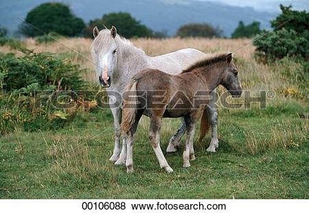 Pictures of Dartmoor, Dartmoor Ponies, Dartmoor Pony, Juniors.
