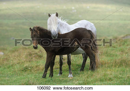 Stock Photo of dartmoor pony mare with foal.