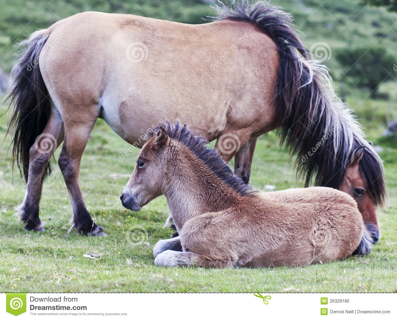 A Dartmoor Pony Mare And Foal, Devon, England Stock Photo.