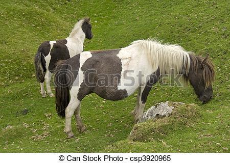 Stock Images of Dartmoor ponies.