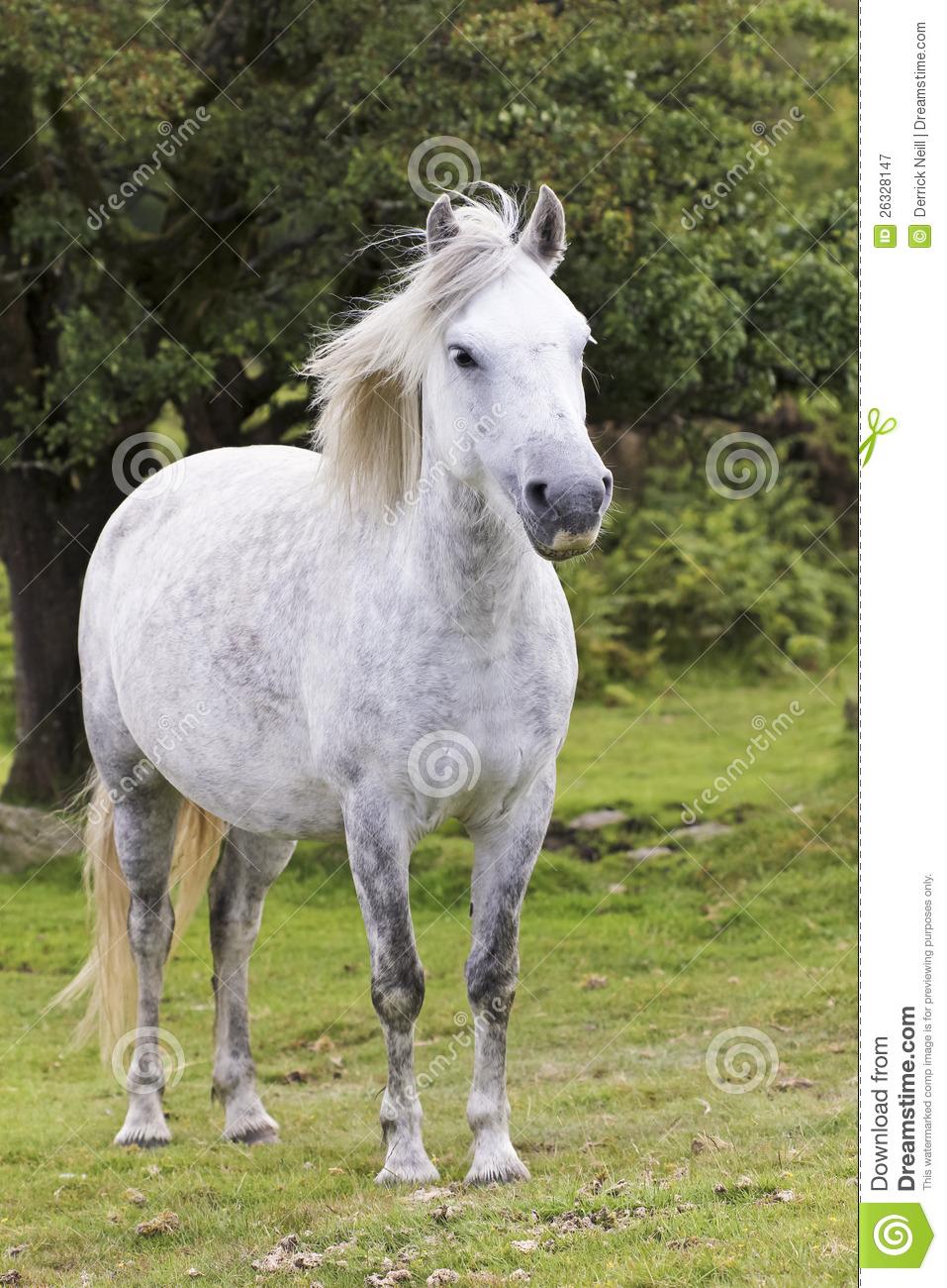 A Beautiful White Dartmoor Pony, Devon, England Royalty Free Stock.
