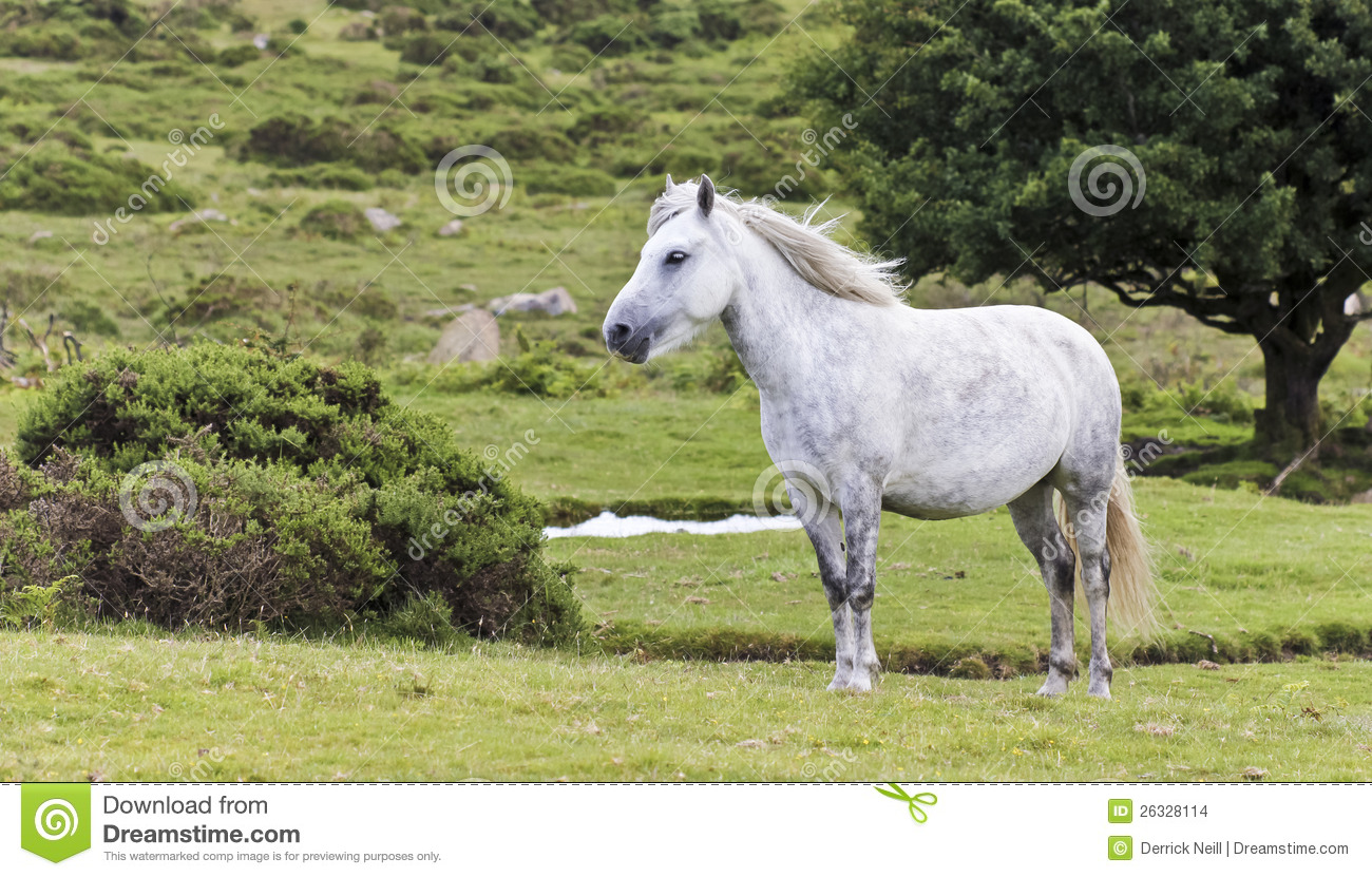 A Beautiful White Dartmoor Pony, Devon, England Stock Images.