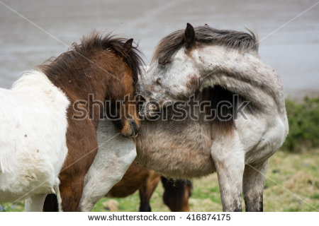 Dartmoor Pony Stock Photos, Royalty.