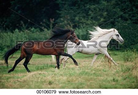 Stock Photograph of Dartmoor, Dartmoor Ponies, Dartmoor Pony.