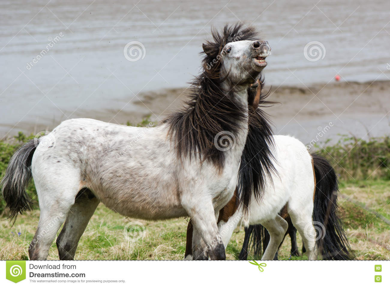 Grey Dartmoor Pony Stallion With Mouth Open And Teeth Stock Photo.