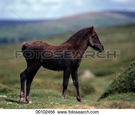 Stock Images of Dartmoor, Dartmoor Ponies, Dartmoor Pony, Juniors.
