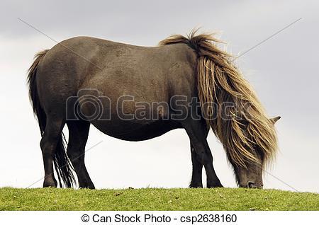 Stock Photography of Dartmoor pony.