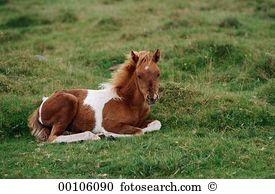 Dartmoor pony Stock Photo Images. 201 dartmoor pony royalty free.
