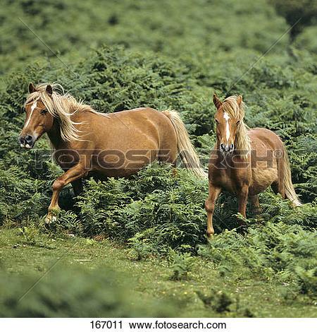 Stock Photography of two Dartmoor Pony horses 167011.