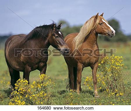 Stock Photography of two Dartmoor Pony horses.