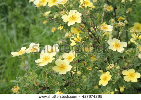"shrubby Cinquefoil"" Stock Photos, Royalty."