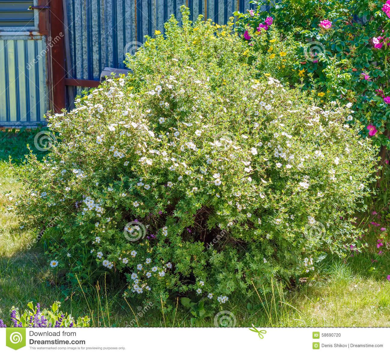 Dasiphora Fruticosa Stock Photo.