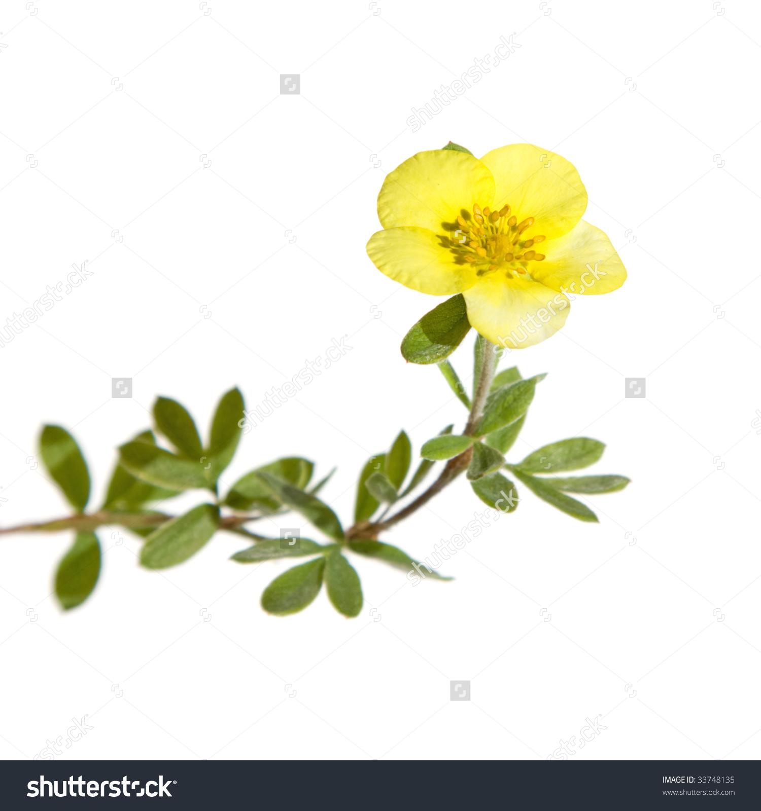 Shrubby Cinquefoil (Dasiphora Fruticosa ,Potentilla Fruticosa.