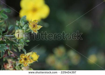Dasiphora fruticosa Stock Photos, Images, & Pictures.