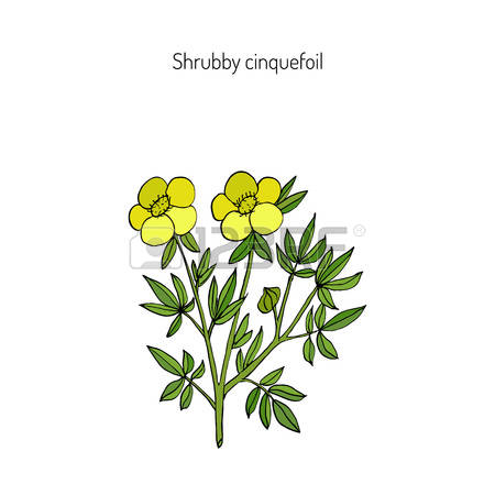 Potentilla Fruticosa Stock Photos Images. Royalty Free Potentilla.